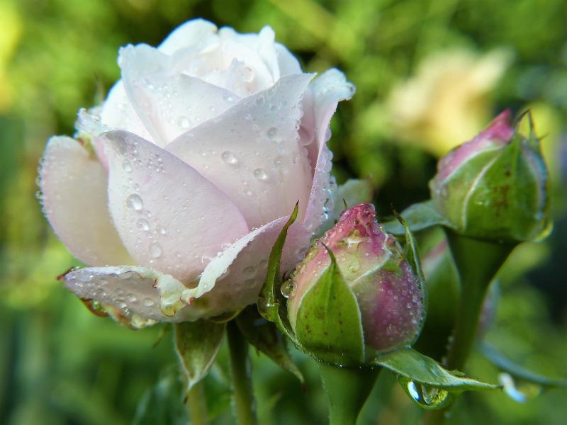 rose-bloom-after-rain.jpg