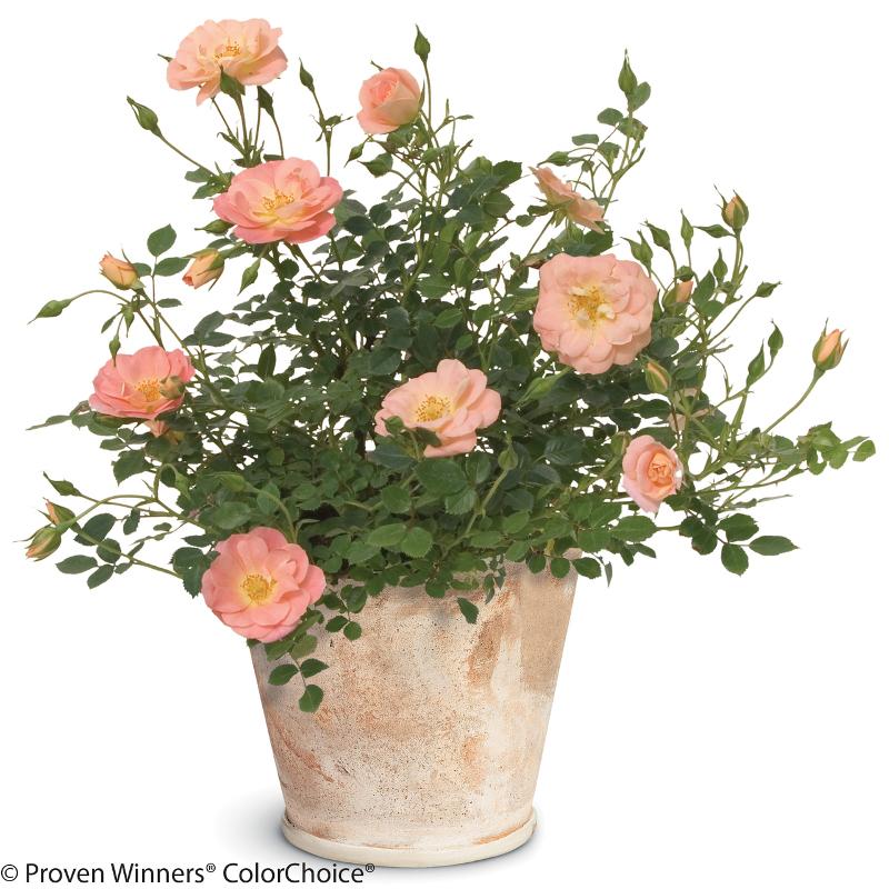 rose-bush-in-planter.jpg