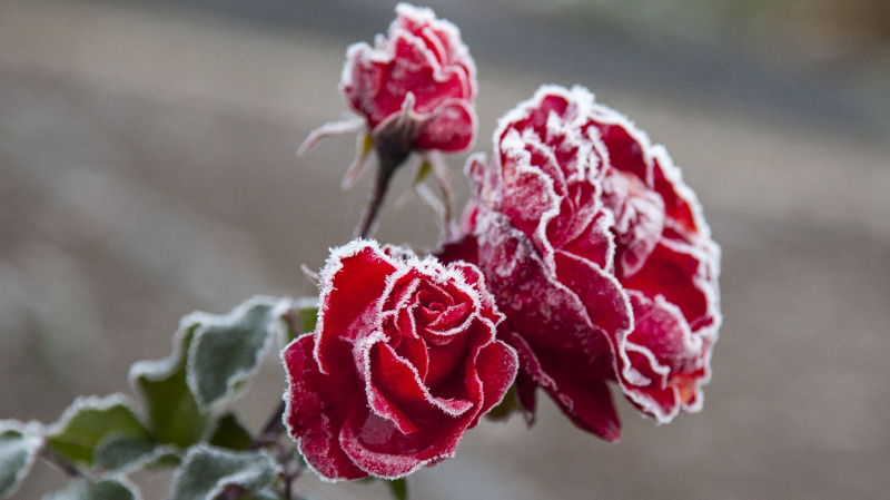 rose-flowers-with-frost.jpg