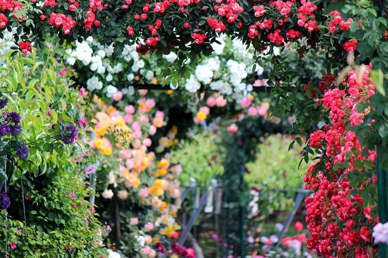 rose-garden-with-shrubs-and-vines.jpg