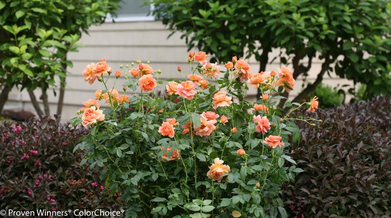 rose-shrub-by-the-house.jpg