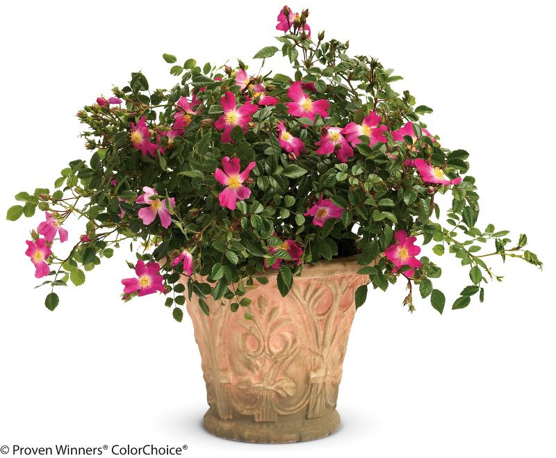 rose-shrub-in-decorative-pot.jpg