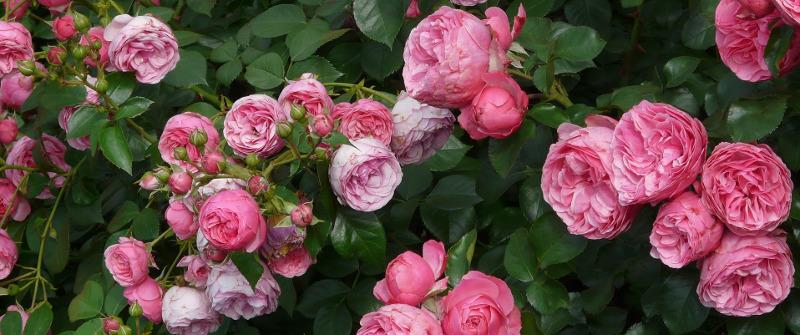 rose-shrub-with-pink-flowers.jpg