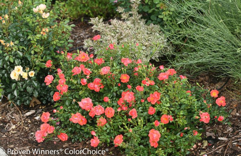 rose-shrubs-in-the-garden.jpg