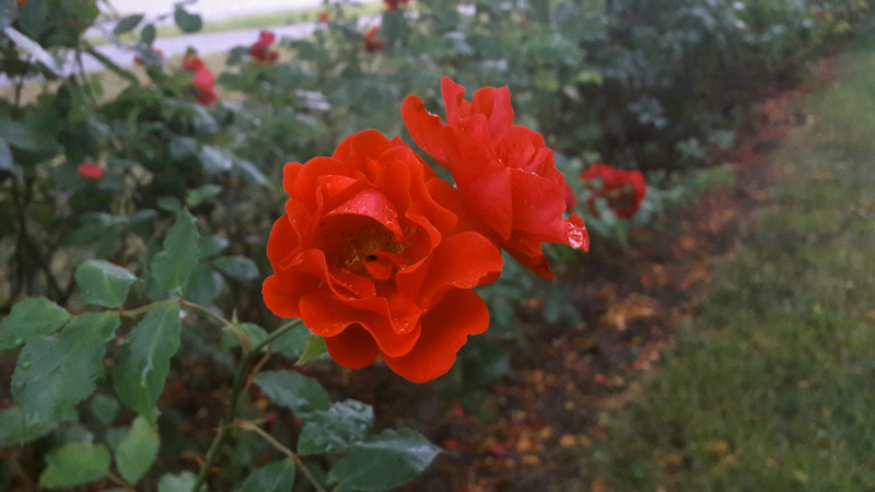 rose-shrubs-planted-in-a-row.jpg