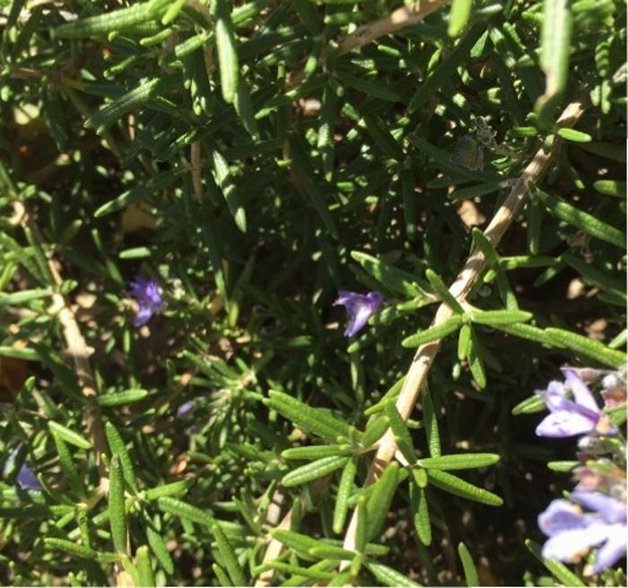 rosemary-flowering.jpg