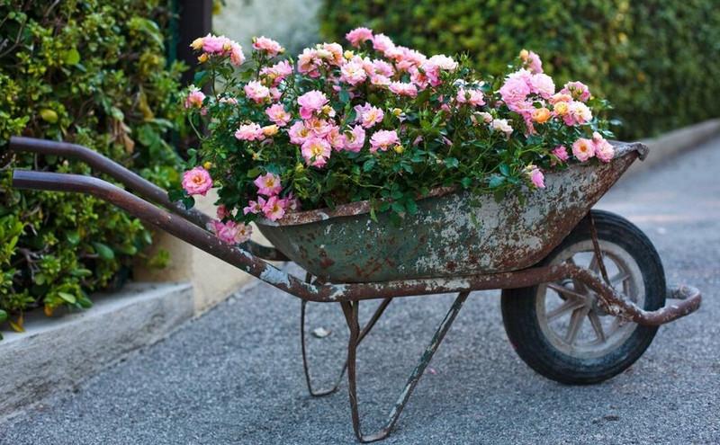 roses-growing-in-old-wheelbarrow.jpg