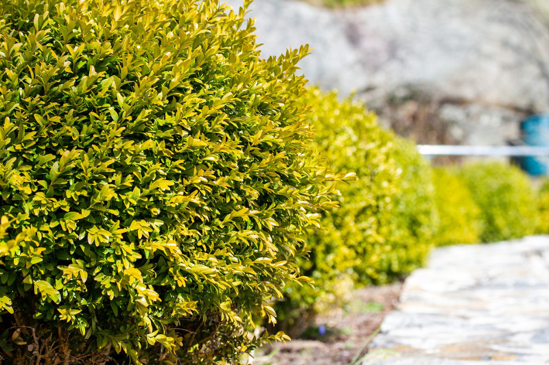 row-of-boxwoods-to-protect-other-plants-from-deer.jpg