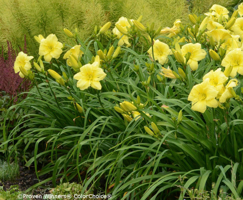 row-of-daylilies.jpg