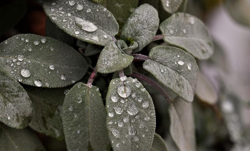 sage-leaves-with-water-on-it.jpg