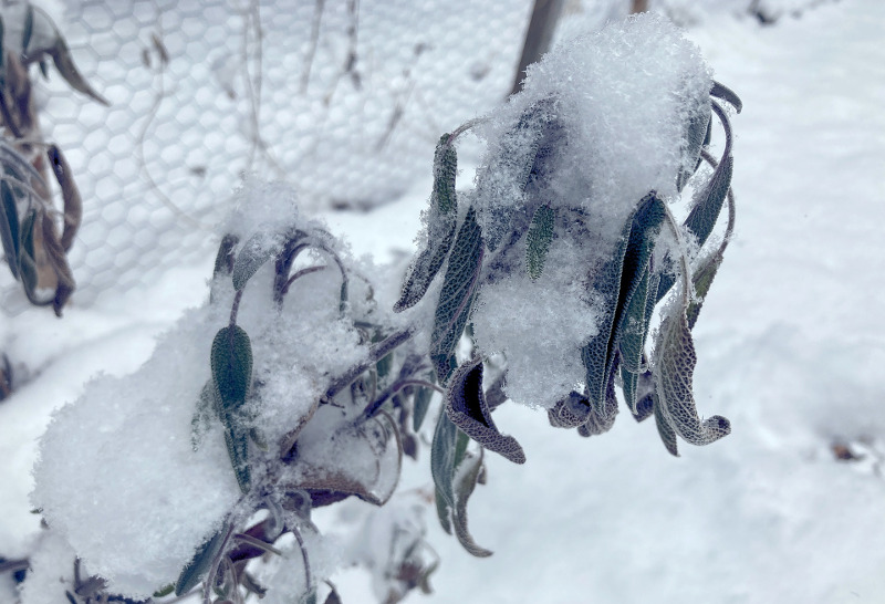 sage-plant-covered-in-snow.jpg