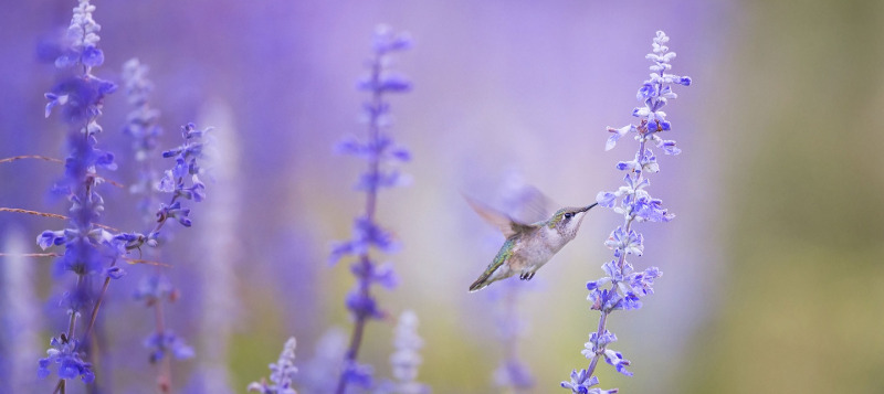 salvia-and-hummingbird.jpg