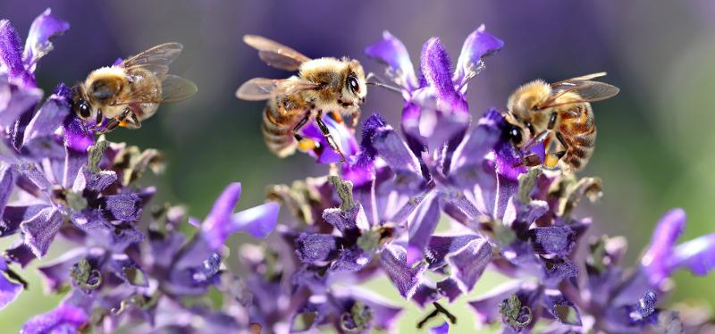 salvia-flowers-covered-in-bees.jpg
