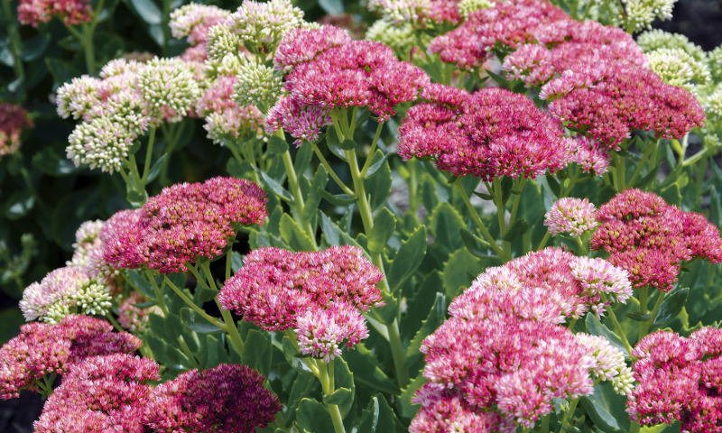 sedum-flowering.jpg