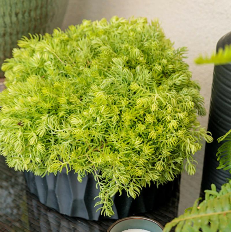 sedum-growing-in-decorative-indoor-pot.png
