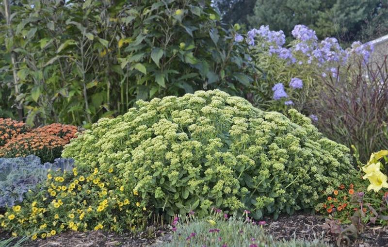 sedum-growing-in-the-garden.jpg