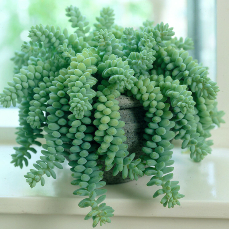 sedum-growing-next-to-window-inside.png
