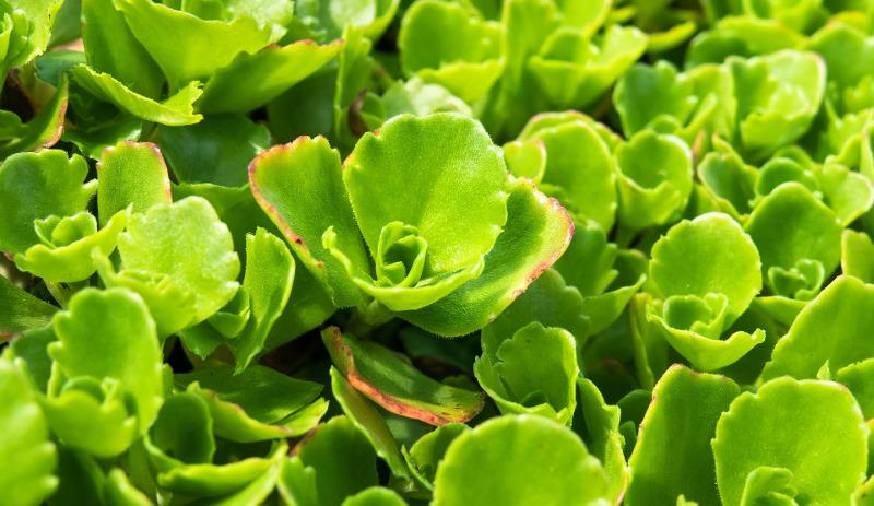 sedum-leaves-foliage-close-up.jpg