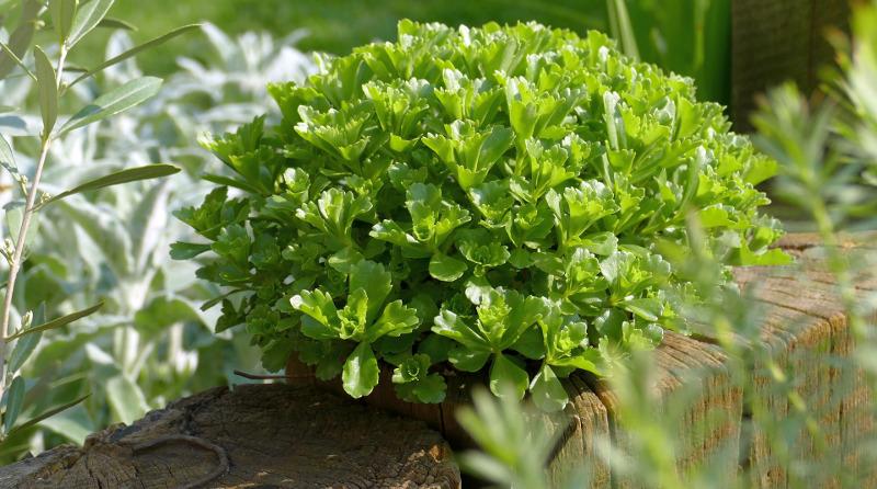 sedum-plant-with-no-flowers.jpg