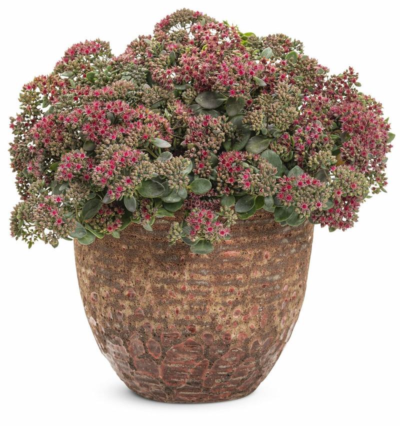 sedum-succulent-in-flower-pot.jpg