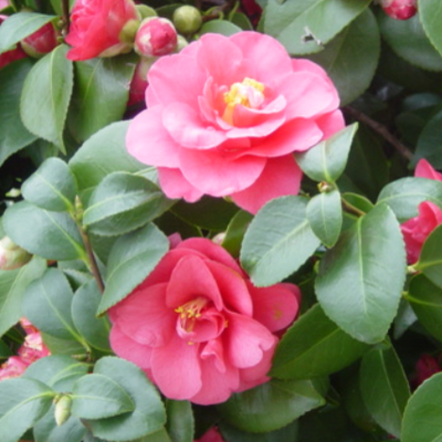semi-double-flowered-camellia.png