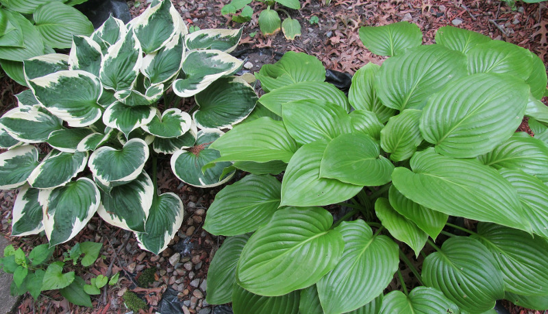 several-hosta-plants-growing-next-to-each-other.jpg