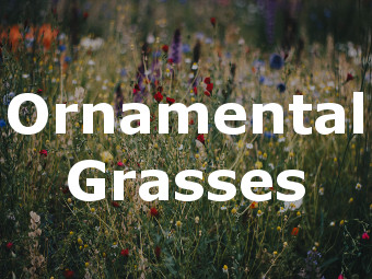 Shop Ornamental Grasses