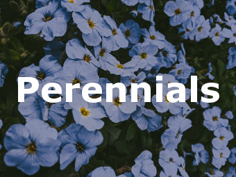 Shop Perennials