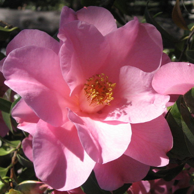 single-flowered-camellia.png