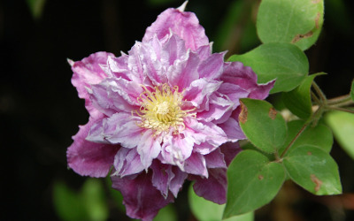 single-large-clematis-flower.jpg