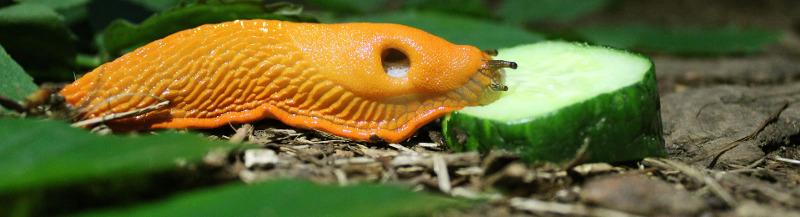 slug-eating-a-cucumber.jpg