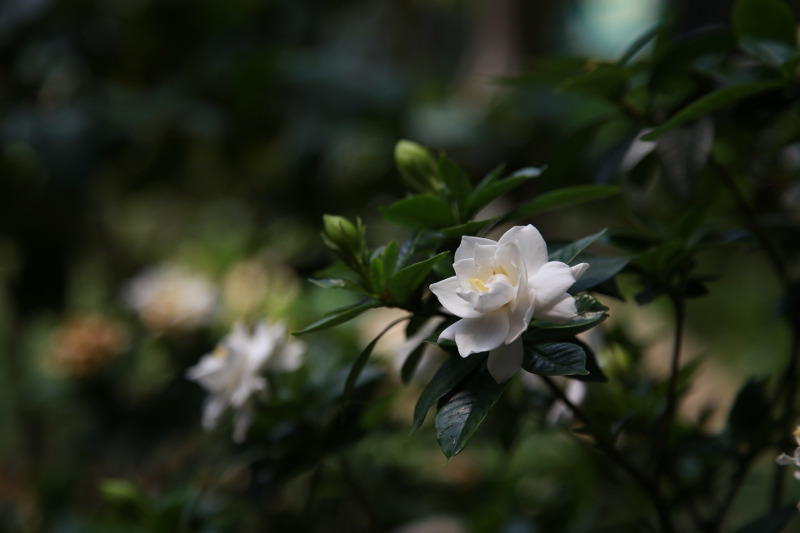 small-gardenia-shrub-with-flower-buds.jpg