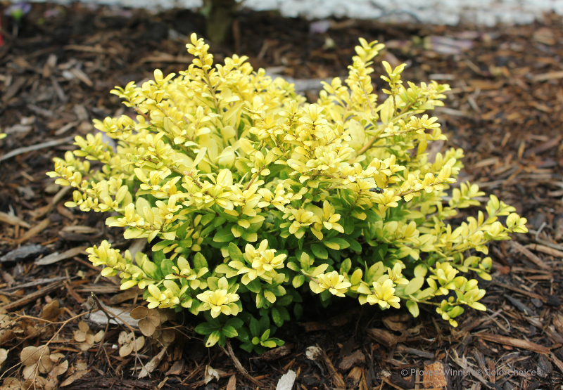 small-holly-shrub-recently-planted-with-mulch.jpg