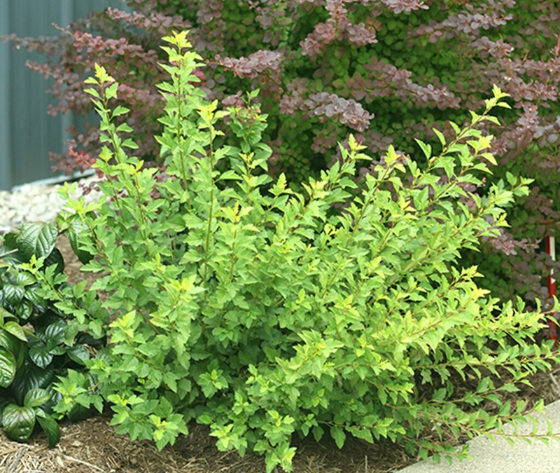 small-ninebark-shrub-in-the-garden.jpg