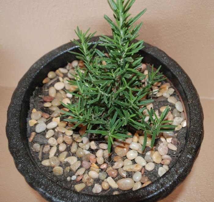 small-rosemary-plant-in-planter.jpg