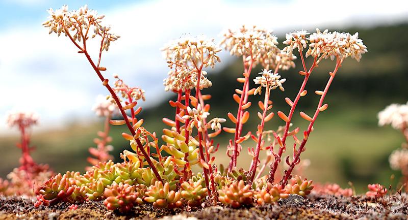 small-sedum-plants-flowering-and-spreading.jpg