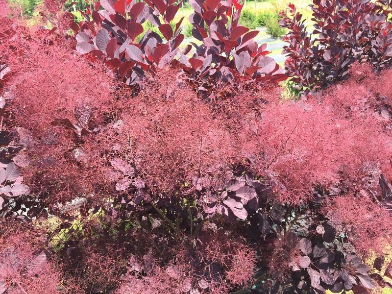 smokebush-blooms.jpg