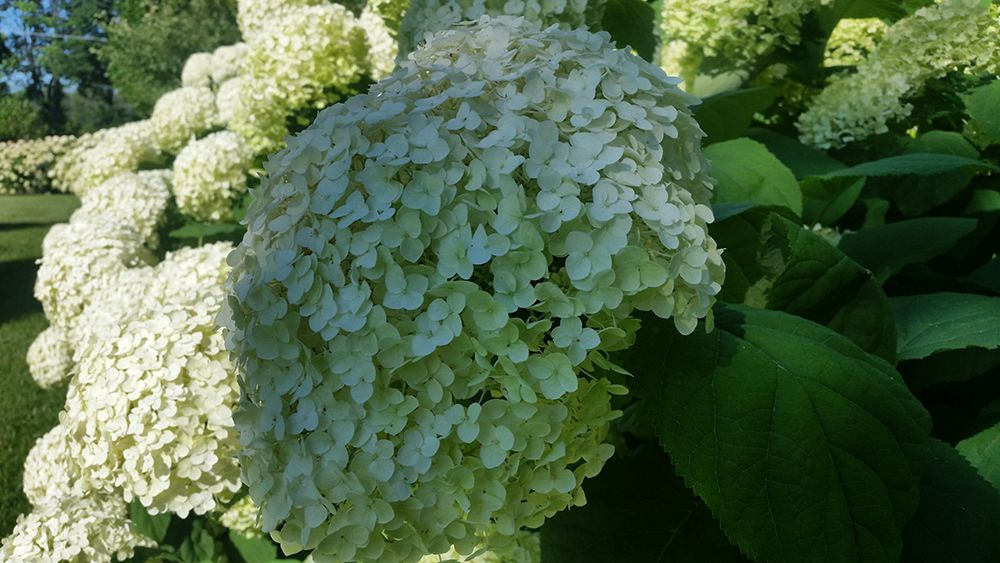 smooth-hydrangea-flower-close-up-compressor.jpg