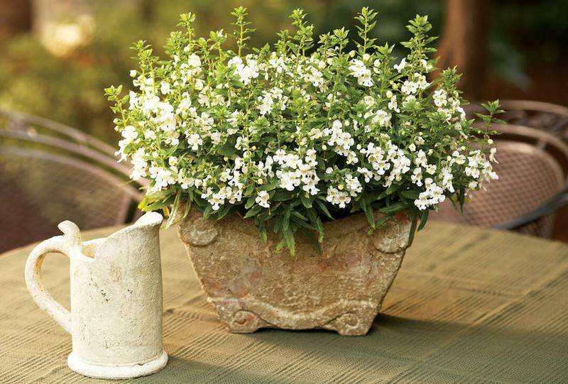 snapdragon-plants-flowering-in-patio-planter.jpg