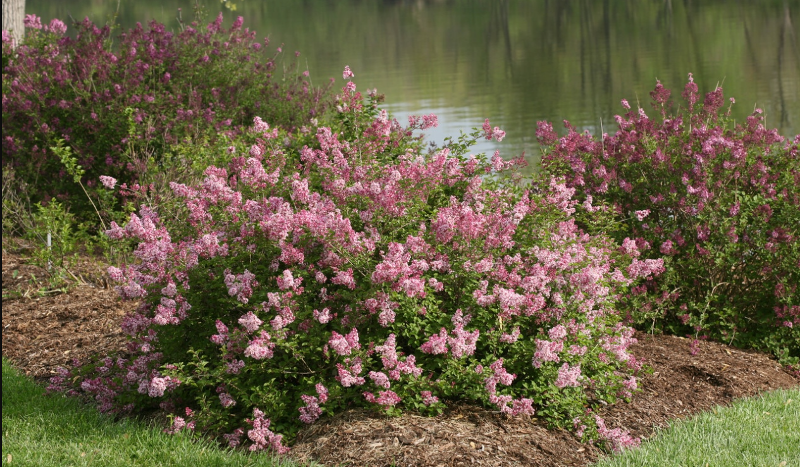 spacing-lilac-shrubs-for-healthy-plants.png