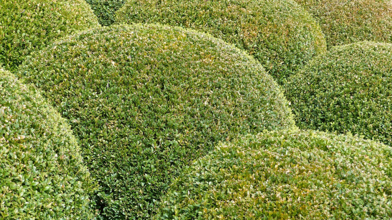 spacing-out-boxwood-shrubs-for-an-ornamental-look.jpg