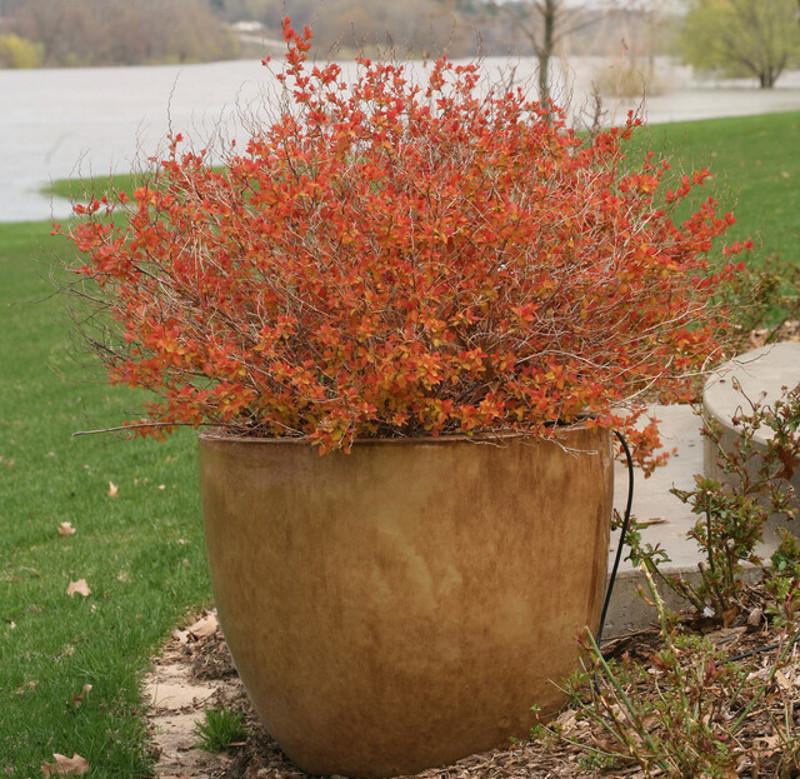 spirea-bush-in-planter-in-the-fall.jpg
