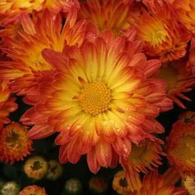 Stacy Dazzling Orange Garden Mum