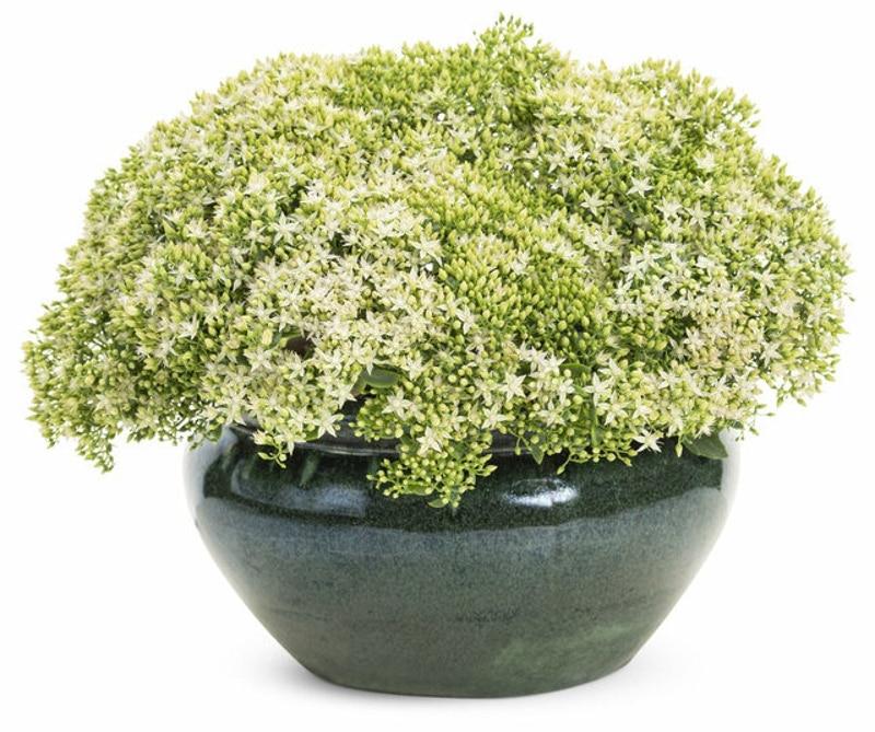 stonecrop-growing-in-planter.jpg