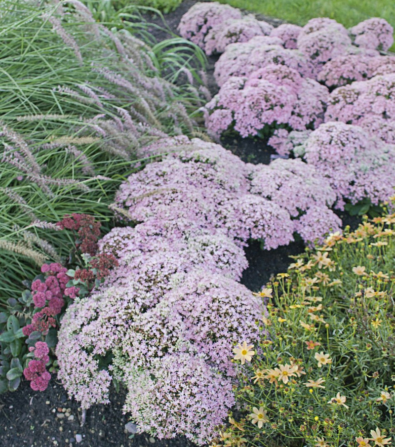 stonecrop-growing-next-to-other-flowering-plants.jpg