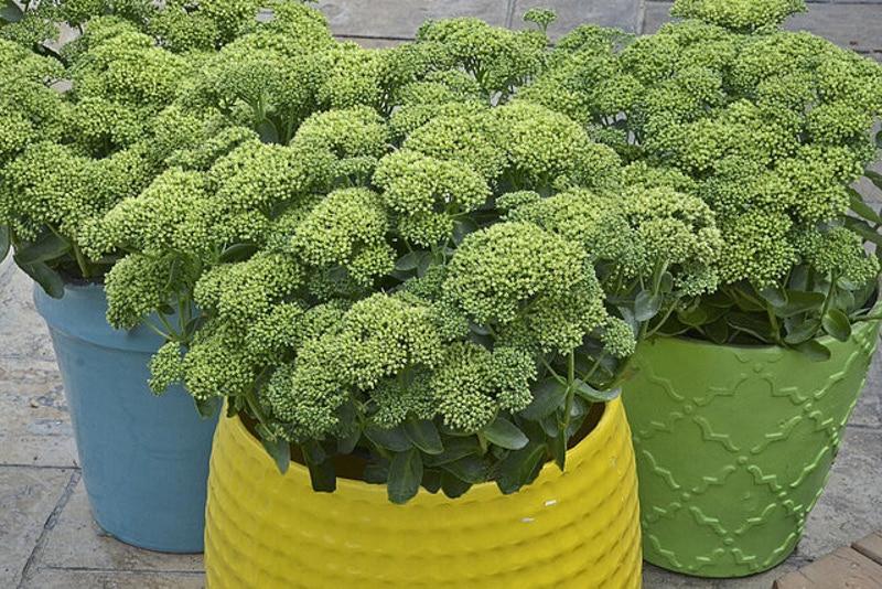 stonecrop-sedum-growing-on-decorative-patio-pots.jpg