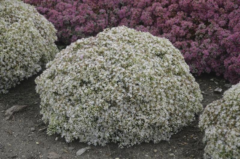 stonecrop-sedum-in-the-garden-blooming.jpg