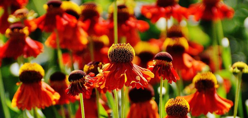 sun-shining-on-coneflower-blooms.jpg