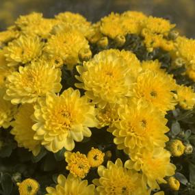 Sundance Yellow Garden Mum