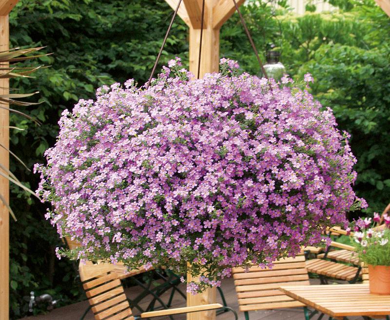 sutera-plants-blooming-in-hanging-basket.jpg